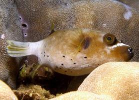 Riff Kugelfisch
